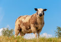 Male sheep on top of a dike Royalty Free Stock Photo