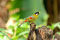 Male silver-eared mesia Royalty Free Stock Photos