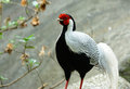 Male Silver Pheasant (Lophura nycthemera) Royalty Free Stock Photo
