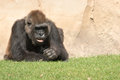 Male silverback gorilla single mammal on grass gorillas are the largest extant genus of primates by size Stock Photo