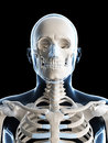 Male skeleton Royalty Free Stock Image