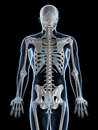 Male skeleton Stock Photo