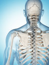 The male skeleton d rendered illustration of Stock Photos
