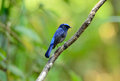 Male small niltava beautiful macgrigoriae in thai forest Royalty Free Stock Photos