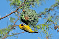Male southern masked weaver building nest in breading colours Stock Photos