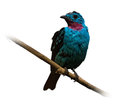 Male spangled cotinga over white background Royalty Free Stock Photos