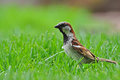 Male sparrow looking for insects in the grass Royalty Free Stock Image
