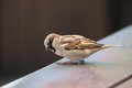 Male sparrow picture of a beautiful Royalty Free Stock Photography