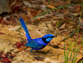 Male Splendid Fairy Wren Royalty Free Stock Photos
