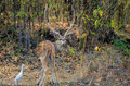 A male Spotted Chital Deer looking at camera Royalty Free Stock Photo
