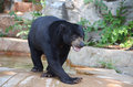 Male sun bear a walks near his pool of water Stock Photography