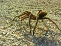 Tarantula Lookiing For A Mate