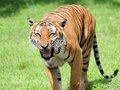 Male tiger growling looking at the crowd in zoo miami south florida Stock Image