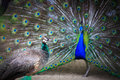 Male to female peacock peacock displays of affection Royalty Free Stock Image