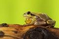 Male tree frog singing on wood stump Royalty Free Stock Photo