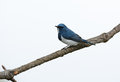 Male ultramarine flycatcher ficedula superciliaris beatiful possing on the branch Stock Photography