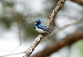 Male ultramarine flycatcher ficedula superciliaris beatiful possing on the branch Royalty Free Stock Images