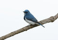 Male ultramarine flycatcher ficedula superciliaris beatiful possing on the branch Royalty Free Stock Photos