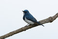 Male ultramarine flycatcher ficedula superciliaris beatiful possing on the branch Stock Image