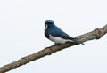Male ultramarine flycatcher ficedula superciliaris beatiful possing on the branch Stock Images