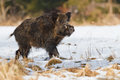 Male vildsvin i snowen Arkivbilder