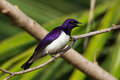 Male violet backed starling a calling from a perch Royalty Free Stock Photo