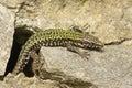 A male Wall Lizard Podarcis muralis sunbathing on a stone wall. Royalty Free Stock Photo
