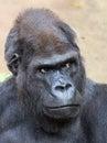 Male Western Gorilla