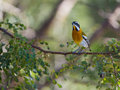 Male western spindalis warbler on a branch zena perches in the island of cuba Stock Images