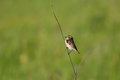 Male whinchat on a straw aka meadow chat aka grass chat Stock Photos
