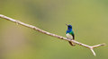 Male White-necked Jacobin Royalty Free Stock Image