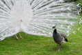 Male white peacocks are spread tail-feathers XX