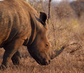 Male white rhino with big horn Royalty Free Stock Photography