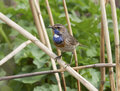 Male white starry Bluethroat sits on a branch cane. Stock Photography