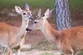 Male whitetail deer late summer velvet spike