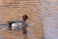 Male Wigeon in water Stock Photography