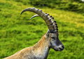 Male wild alpine capra ibex or steinbock walking in alps mountain france Royalty Free Stock Images