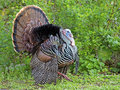 Male Wild Turkey Fanning Royalty Free Stock Photo