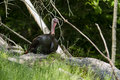Male wild turkey meleagris gallopavo in spring Royalty Free Stock Image