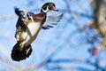 Male Wood Duck In Flight Royalty Free Stock Photo