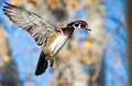 Male wood duck in flight autumn Stock Images