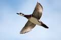 Male wood duck in flight with cloud and blue sky background Royalty Free Stock Photos
