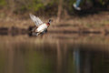 Male wood duck in flight over lake Royalty Free Stock Photos
