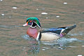 Male wood duck floating in the water Royalty Free Stock Images