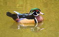 Male wood duck swimming on green water. Royalty Free Stock Photo