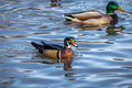 Male wood duck swimming in a pond of High Park - Toronto, Ontario, Canada Royalty Free Stock Photo