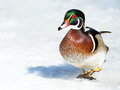 Male wood duck walking in the snow Royalty Free Stock Image