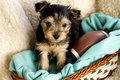 Male Yorkshire Terrier Puppy with football Royalty Free Stock Images