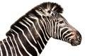 Male Zebra Head