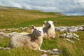 Malham sheep Stock Photography